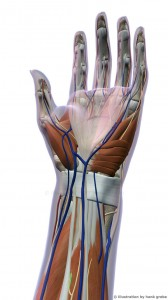 Anaomy of Female Hand Muscles and Ligaments